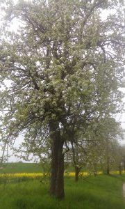 Grüne Apfelblüte
