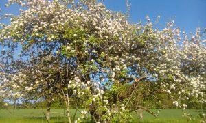 Apfelbäume #3