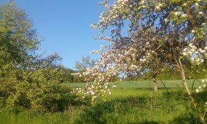 Apfelbäume #2
