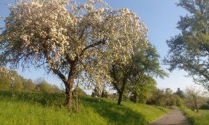 Apfelbäume #1
